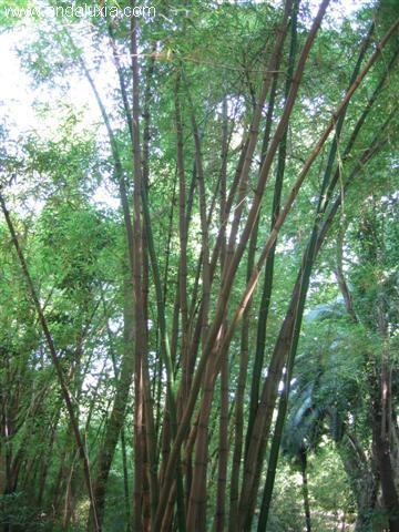 bambu jardin botanico